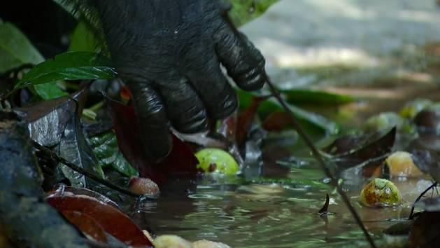 Schimpansen - Filmclip: Köstlichkeiten