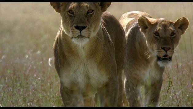Im Reich der Raubkatzen: Die Jäger werden zu Gejagten