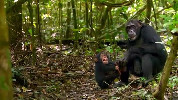 Schimpansen - Die nächsten Verwandten des Menschen